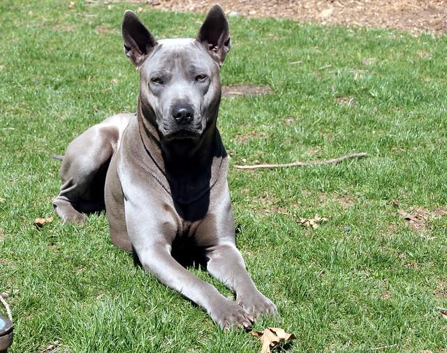 Blue Thai Ridgeback | Flickr - Photo Sharing! Unique Looking Dog Breeds
