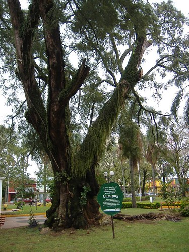 An amazing 200 year old tree located in central Paraguay