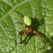 Small photo of Araniella sp. male, family Araneidae