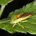 Small photo of Tornteger (Acanthosomatidae)