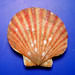 Atlantic bay scallop - Photo (c) NOAA Photo Library, some rights reserved (CC BY)