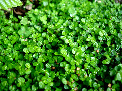 annual plant, leaf, herb, green, lawn, non-vascular land plant, groundcover,