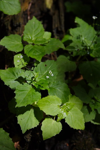 Smaller Enchanter's Nightshade