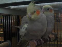 lovebird(0.0), parakeet(0.0), cockatoo(1.0), animal(1.0), pet(1.0), fauna(1.0), cockatiel(1.0), beak(1.0), bird(1.0),