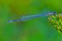 Dainty Damselfly, by euthiv