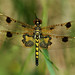 Calico Pennant by nature55