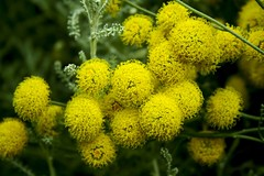 yarrow(0.0), shrub(0.0), chamaemelum nobile(0.0), produce(0.0), annual plant(1.0), flower(1.0), yellow(1.0), plant(1.0), mimosa(1.0), herb(1.0), wildflower(1.0), flora(1.0),