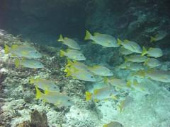 school of schoolmaster at Punta Dalila reef, Cozumel. Q Roo, MX