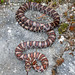Milk Snake - Photo (c) Michael, some rights reserved (CC BY-NC)