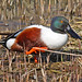 Northern Shoveler - Photo (c) Frans Vandewalle, some rights reserved (CC BY-NC)