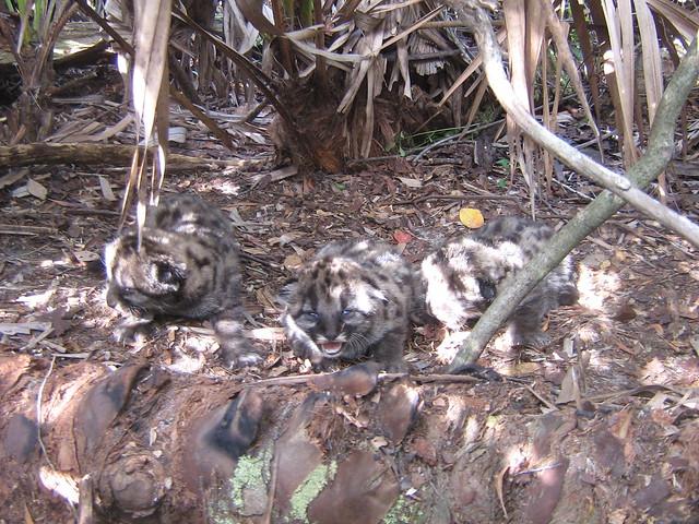 Florida Panther Kitten-FP148den