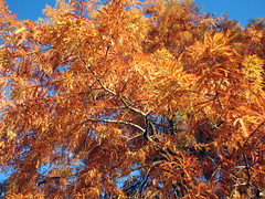 Bald Cypress in Autumn Lake Crabtree NC 0455