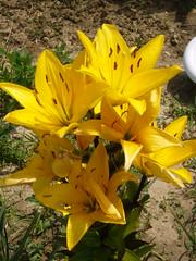 fleur jaune bis