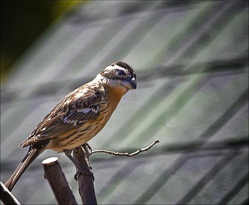 bird grosbeak placercounty sierrafoothills blackheadedgrosbeak pheucticusmelanocephalus perchingbird femaleblackheadedgrosbeak
