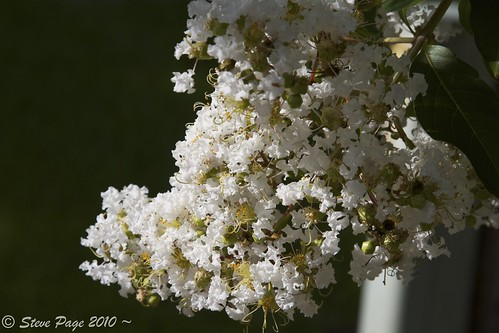 white nature eos blossom stevepage crepemyrtle itail canonef24105mmf4lisusm winterparkflorida stephenpage canon7d pagephotos