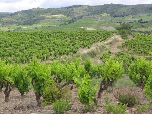 Vines around Villeneuve les Corbieres