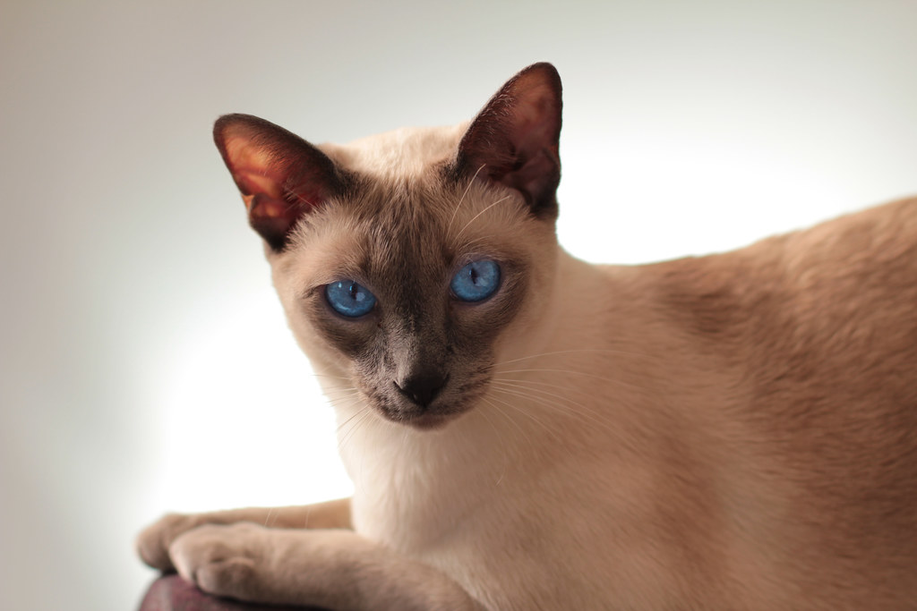 Facial features of siamese cats