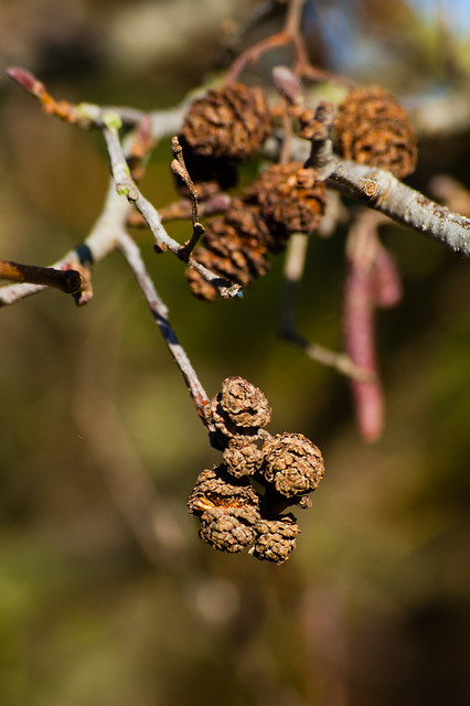 Alder seeds