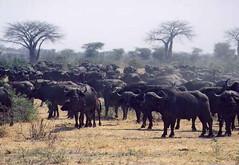 cattle-like mammal, animal, prairie, water buffalo, wildebeest, plain, mammal, herd, pasture, savanna, grassland, safari,