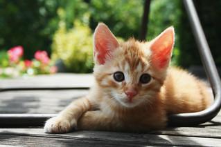 red kitten 01