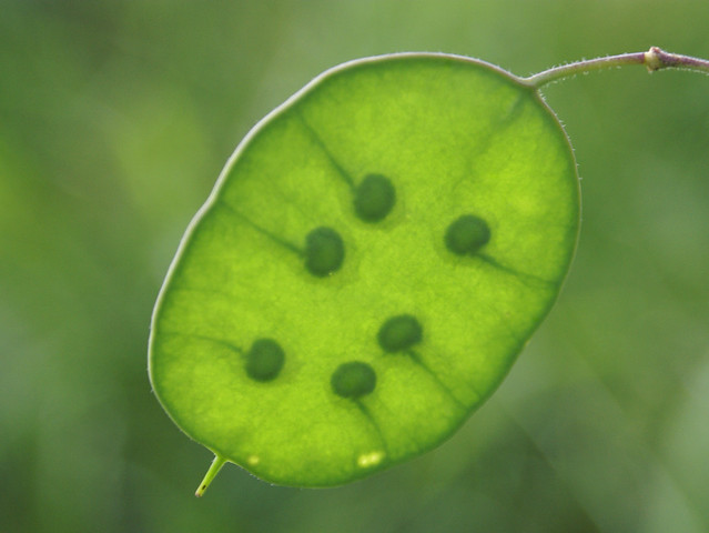 Annua Seeds Honesty Lunaria Annua Seed