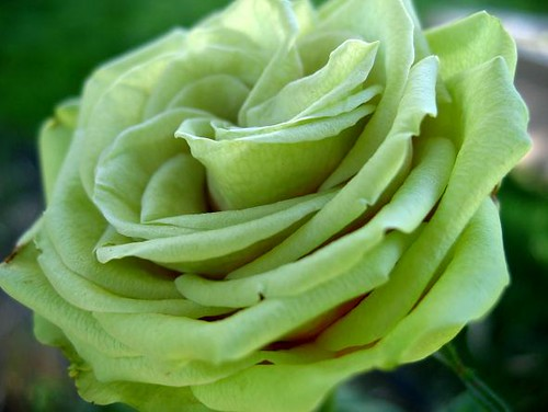 Green Miniature Rose 1
