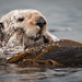 (3 of 5) California Sea Otter (Enhydra lutris) resting in a colony of a dozen sea otters and wrapped in kelp