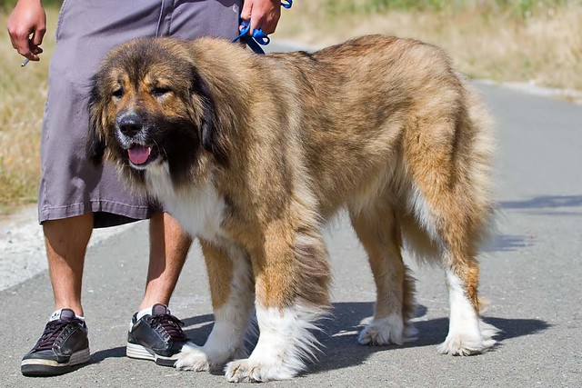 Abby, the Caucasian Mountain Dog | Flickr  Photo Sharing!