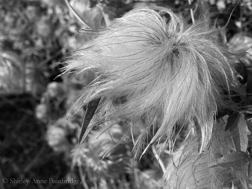 old man's beard 319/365