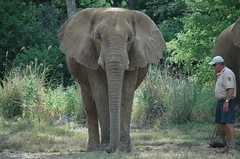 animal, indian elephant, elephant, elephants and mammoths, african elephant, fauna, safari, wildlife,