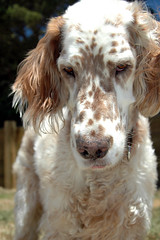 stabyhoun(0.0), small mã¼nsterlã¤nder(0.0), drentse patrijshond(0.0), french spaniel(0.0), english springer spaniel(0.0), dog breed(1.0), animal(1.0), english setter(1.0), dog(1.0), welsh springer spaniel(1.0), pet(1.0), setter(1.0), russian spaniel(1.0), spaniel(1.0), carnivoran(1.0),