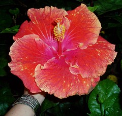annual plant, flower, plant, malvales, flora, chinese hibiscus, petal,