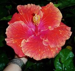 shrub(0.0), rosa chinensis(0.0), annual plant(1.0), flower(1.0), plant(1.0), malvales(1.0), flora(1.0), chinese hibiscus(1.0), petal(1.0),