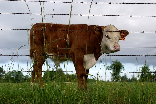 Brown baby cows - photo#12