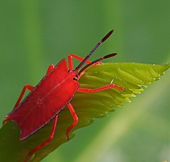 Shield Bug, by ric seet @ flickr