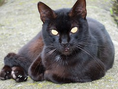 animal, small to medium-sized cats, european shorthair, black cat, fauna, bombay, cat, carnivoran, whiskers,