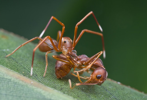 A male ant-mimic crab spider Amyciaea lineatipes with prey - a weaver ant. IMG_9990 copy