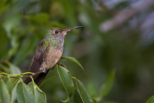bird hummingbird ave colibrí buffbelliedhummingbird colibríyucateco