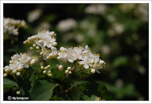 【图】虎耳草科溲疏属小花溲疏