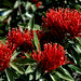 Alloxylon Flammeum- Tree Waratah