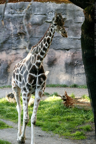 reticulated giraffe in the portland zoo    MG 4057