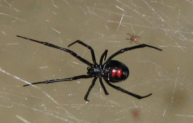 Black widow amp baby flickr photo sharing