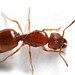 Big-Headed Ants - Photo (c) Yonatan Munk, some rights reserved (CC BY-NC-SA)
