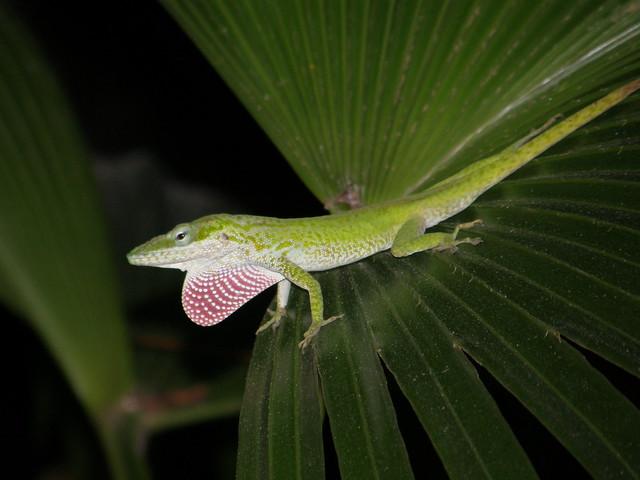 Chipojo (Anolis porcatus) mostrando pliegue gular