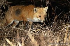 jackal(0.0), grey fox(0.0), animal(1.0), red wolf(1.0), mammal(1.0), fauna(1.0), red fox(1.0), kit fox(1.0), coyote(1.0), wildlife(1.0),