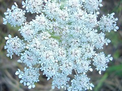 lilac(0.0), apiales(0.0), blossom(0.0), shrub(0.0), english lavender(0.0), cow parsley(0.0), lilac(0.0), anthriscus(0.0), produce(0.0), flower(1.0), branch(1.0), herb(1.0), flora(1.0),