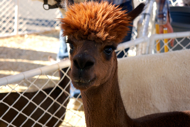 Llamas With Afros Llama Fro   Fli...