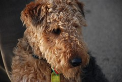 miniature poodle, dog breed, animal, dog, schnoodle, pumi, pet, lagotto romagnolo, glen of imaal terrier, mammal, poodle crossbreed, lakeland terrier, welsh terrier, irish soft-coated wheaten terrier, goldendoodle, terrier, airedale terrier,