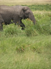 Young elephant having lunch