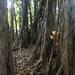 Banyan Trees in the Amazon Rainforest